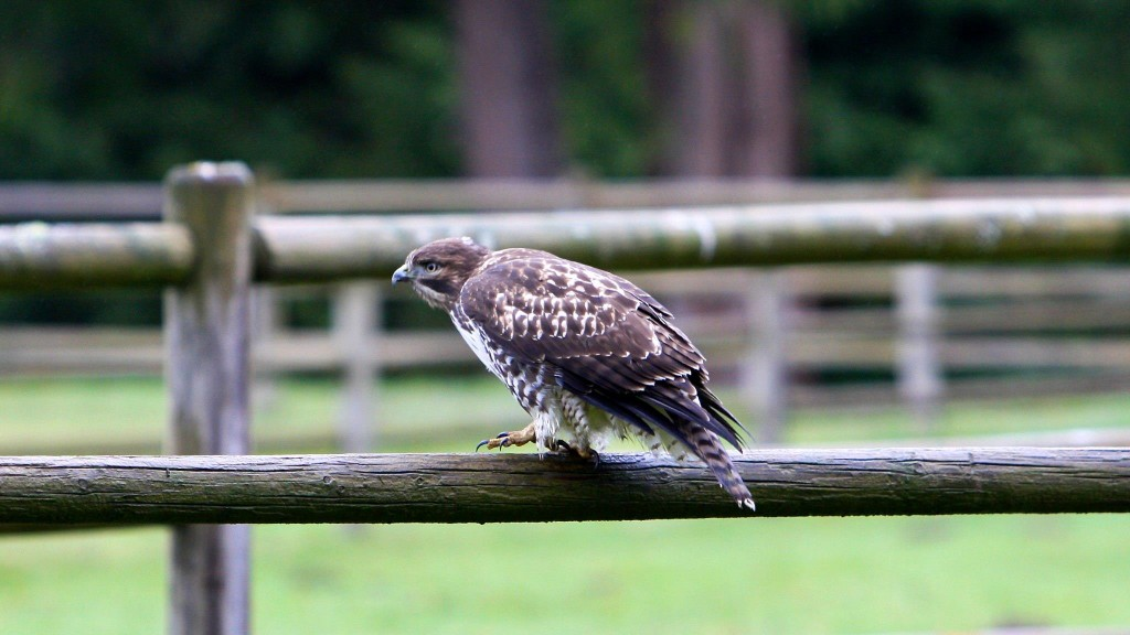Cover Image for Juvenile Red-Tailed Hawk on the fence today